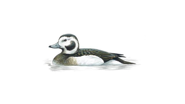 Long-tailed duck (female winter)