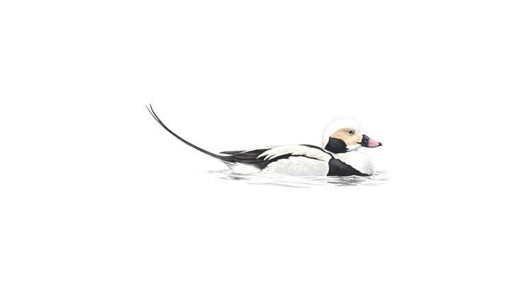 Long-tailed duck (male winter)