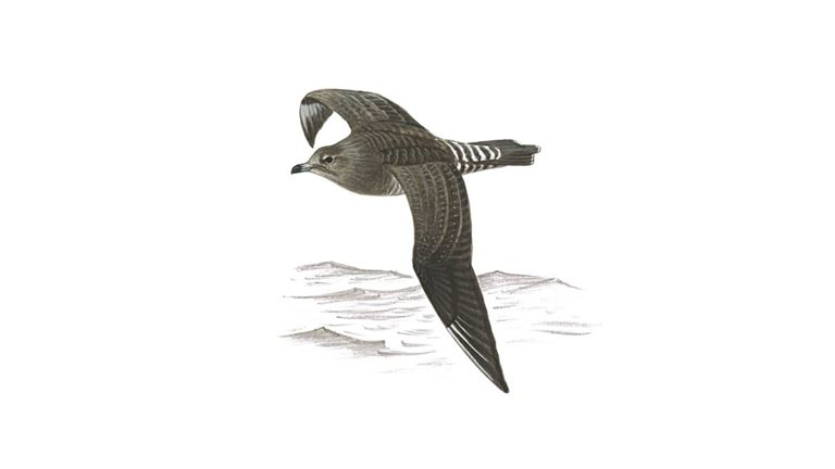Long-tailed skua (juvenile)