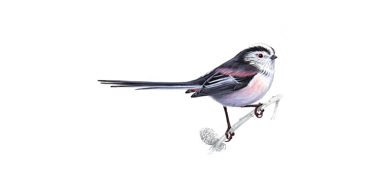 Long Tailed Tit Bird Facts Aegithalos Caudatus The Rspb