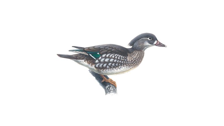 Mandarin (female)