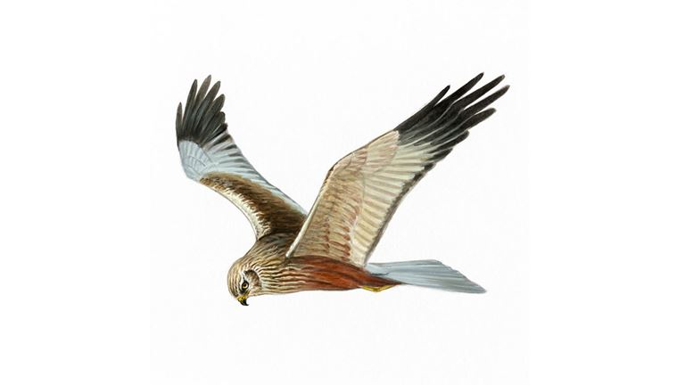 Marsh harrier (male)