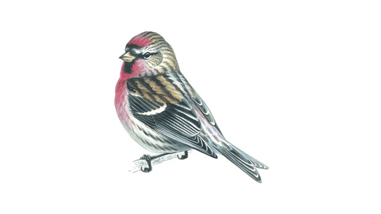 Common redpoll (male summer plumage)