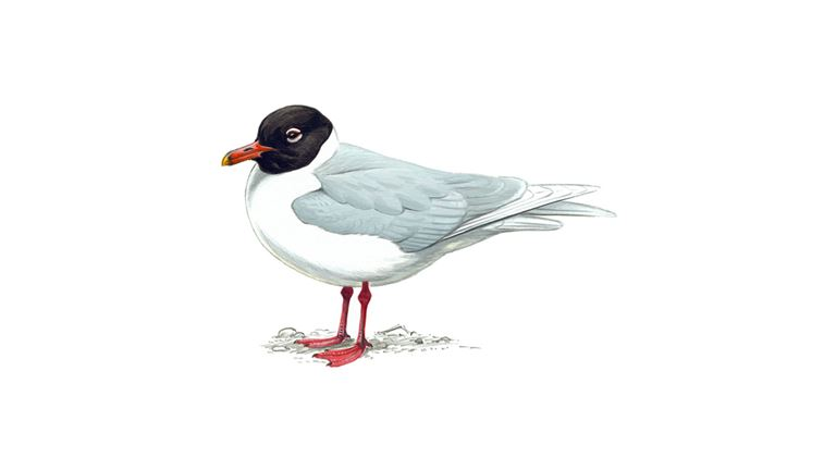 Mediterranean gull (summer plumage)