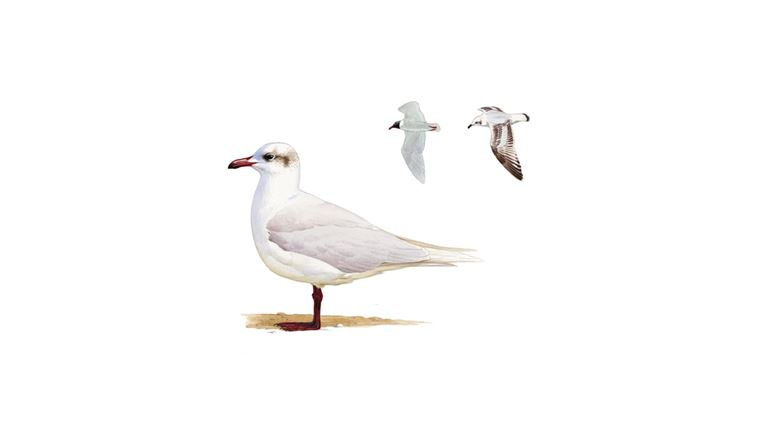 Mediterranean gull (adult winter plumage)