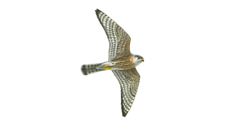 Merlin in flight (male)