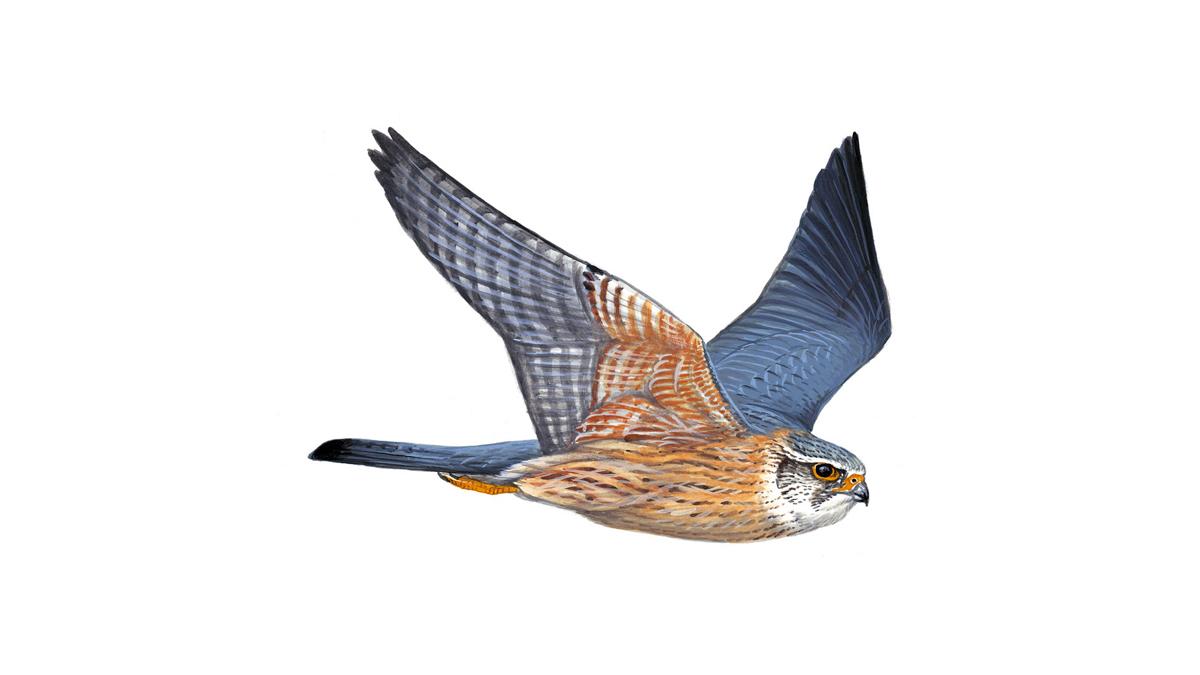 Merlin Bird Facts Falco Columbarius The Rspb