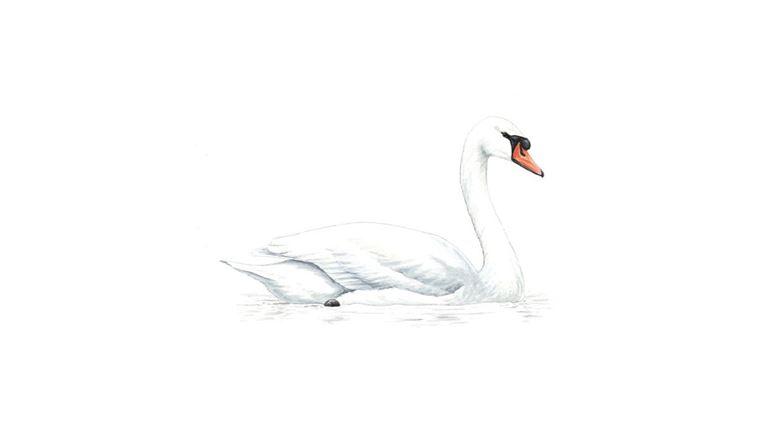 mute swan facts cygnus olor the rspb