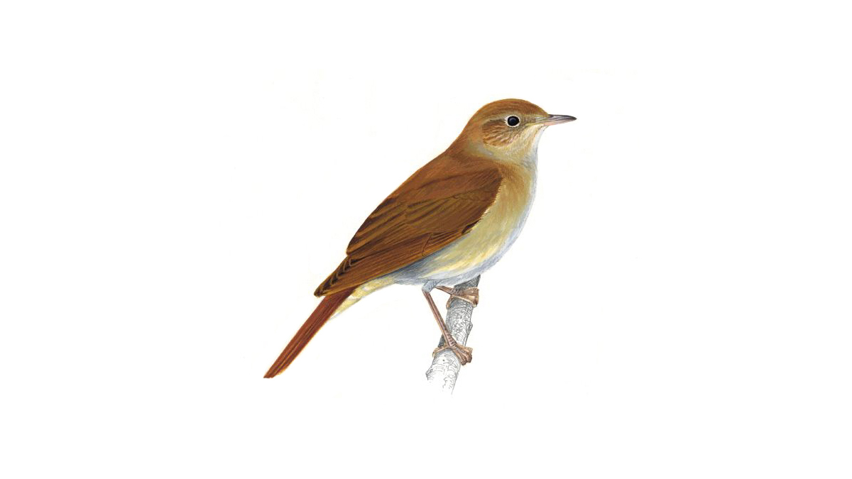 Nightingale Bird Facts | Luscinia Megarhynchos - The RSPB