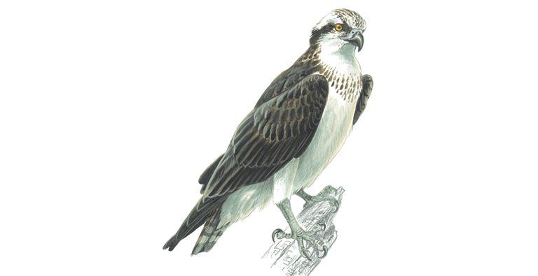 Osprey Bird Facts Pandion Haliaetus The Rspb