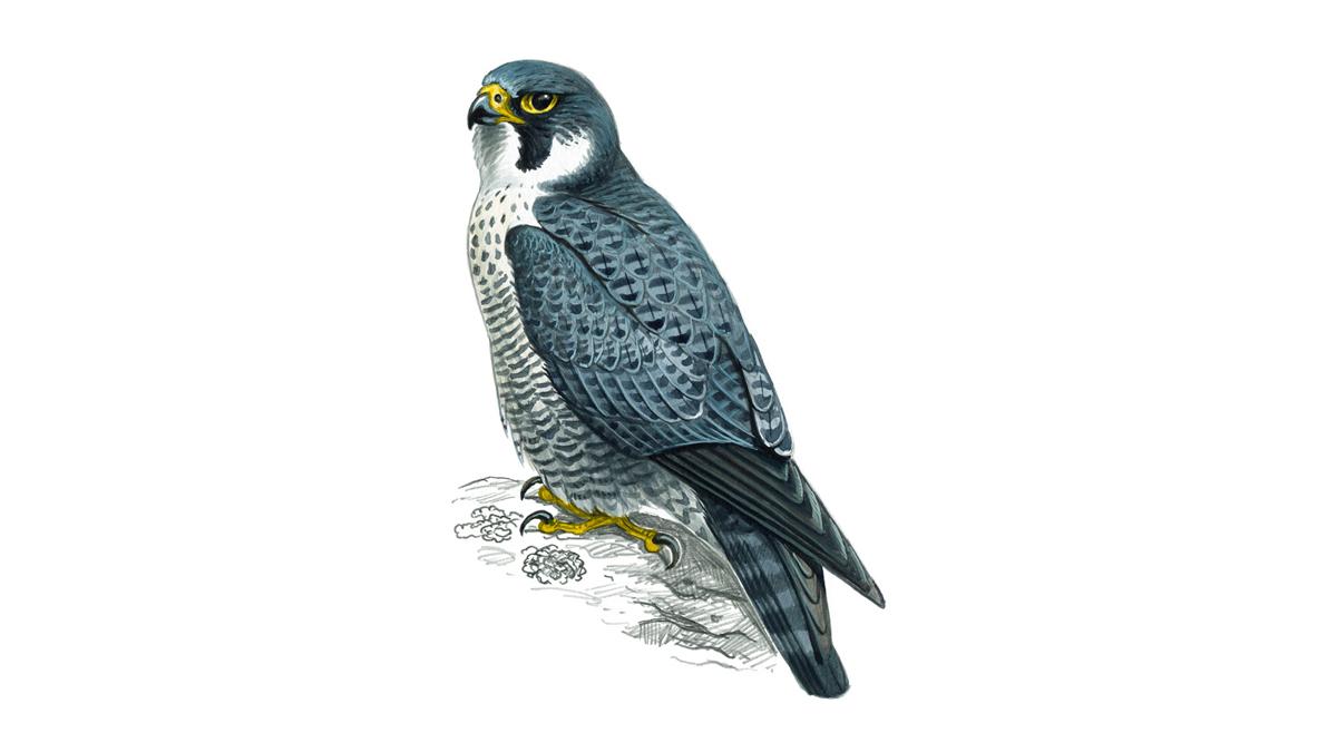 Peregrine Falcon - Scottish Wildlife Trust
