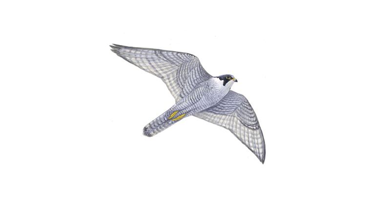 Peregrine (adult in flight)