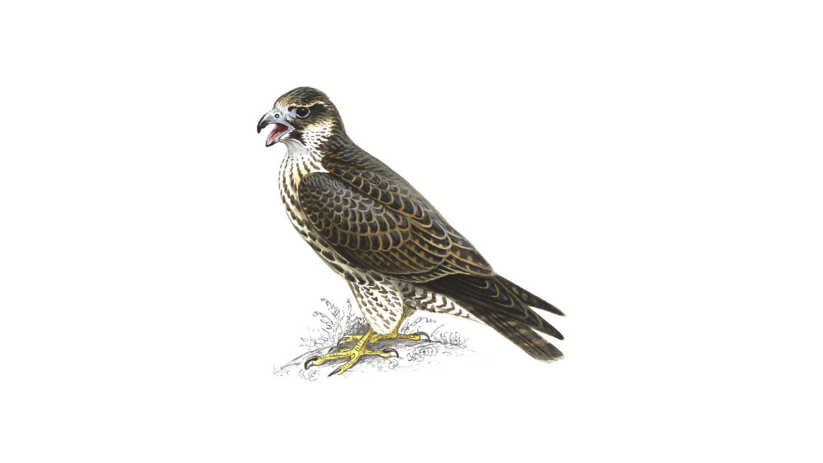 Yorkshire Dales - Peregrine falcons at Malham Cove