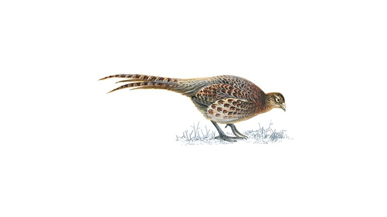 Pheasant (female)