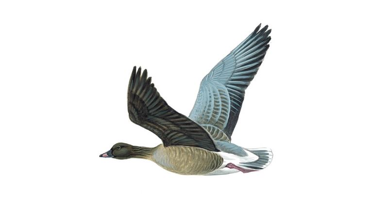 Pink-footed goose (in flight)