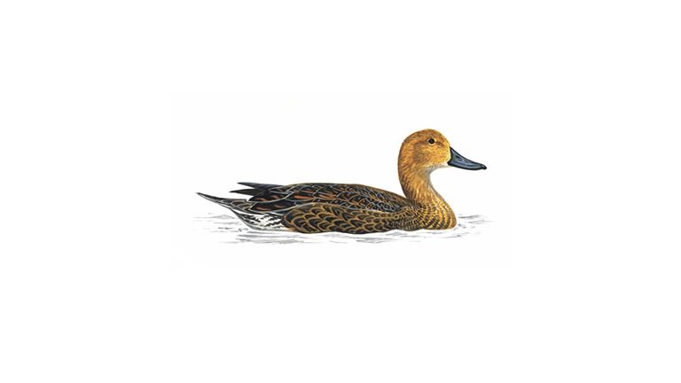 Pintail (female)