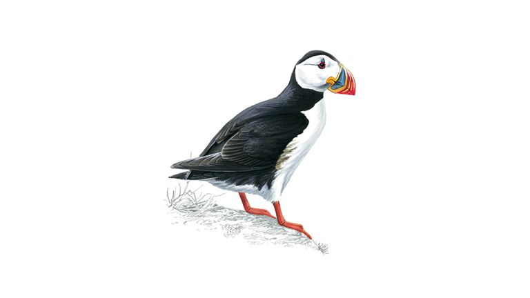 Puffin (summer plumage)