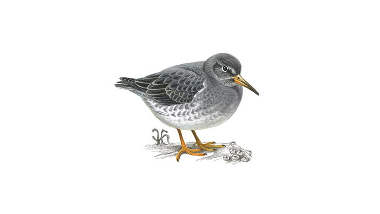 Purple sandpiper (winter plumage)