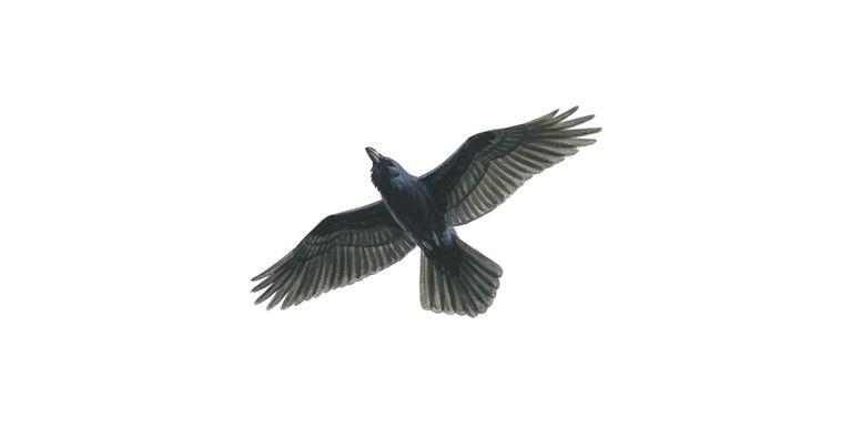 Common Raven Bird Facts Corvus Corax The Rspb