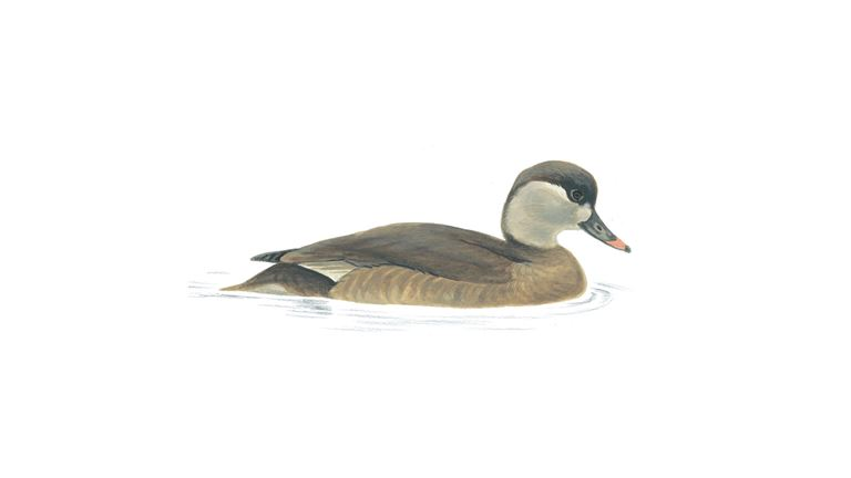 Red-crested pochard (female)
