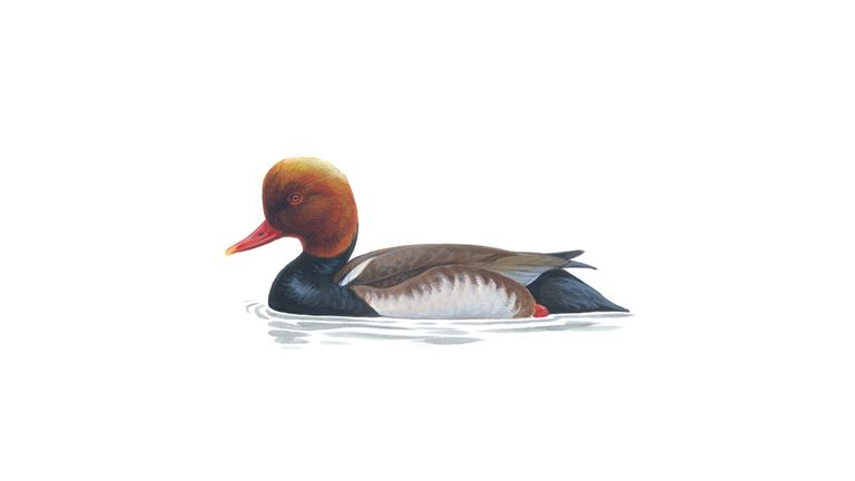 Red-crested pochard (male)