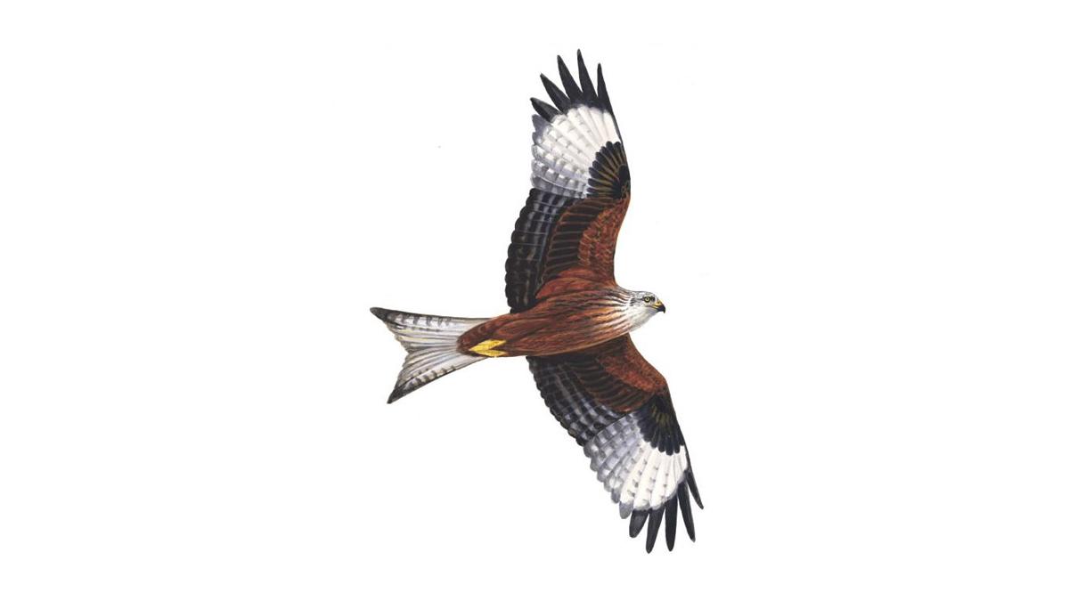 Red Kite Bird Facts Milvus Milvus The Rspb