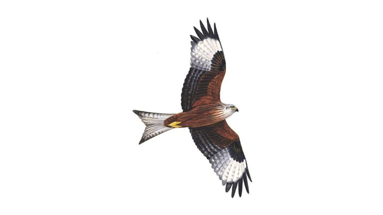Image result for red kite illustrations