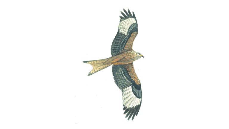 Red kite (juvenile)