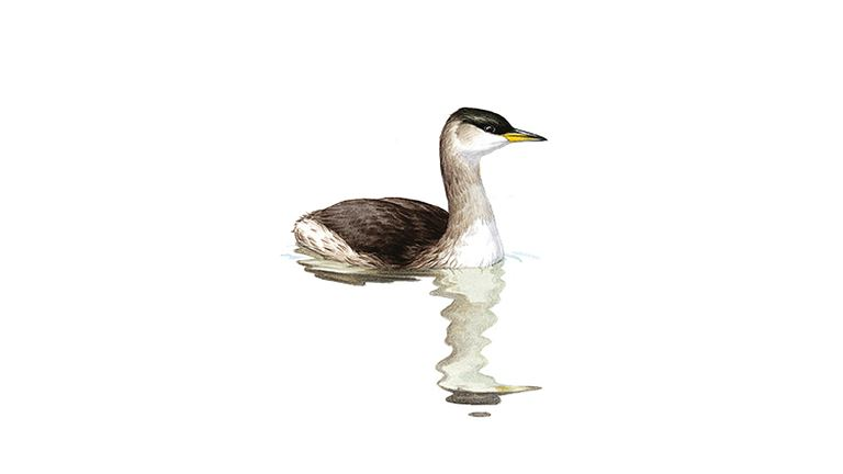 Red-necked grebe (winter plumage)