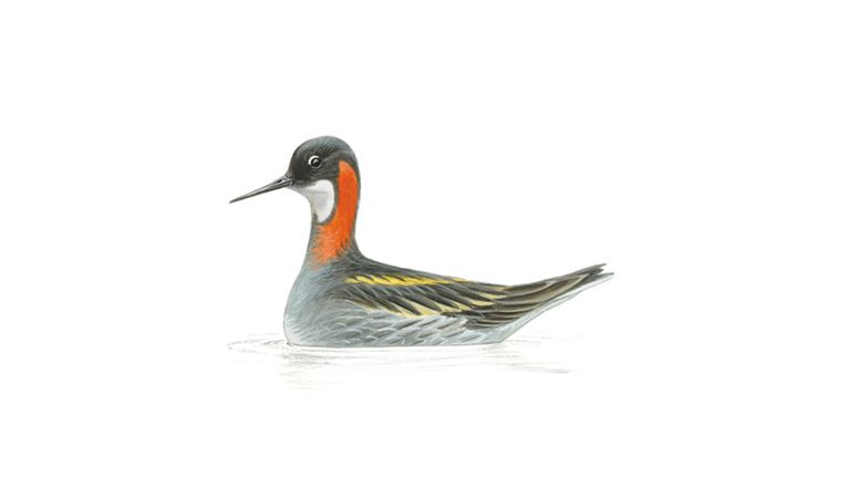 Red-necked phalarope (adult female)