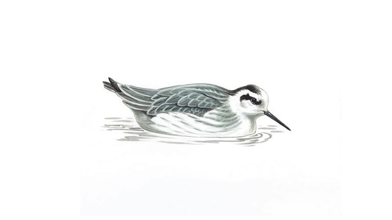 Red-necked phalarope (winter plumage)