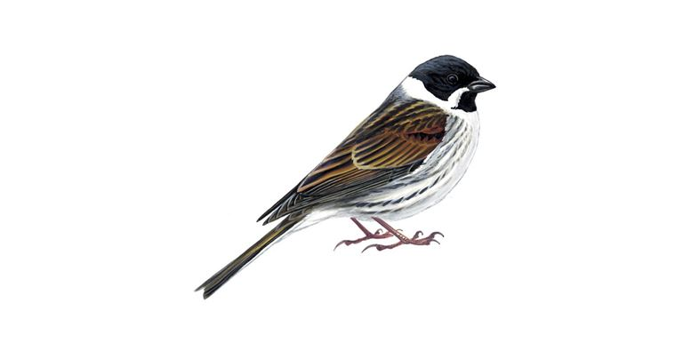 Reed Bunting Bird Facts Emberiza Schoeniclus The Rspb