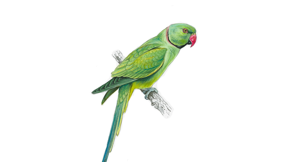 Indian Green Parrot With Red Beak | www.pixshark.com ...
