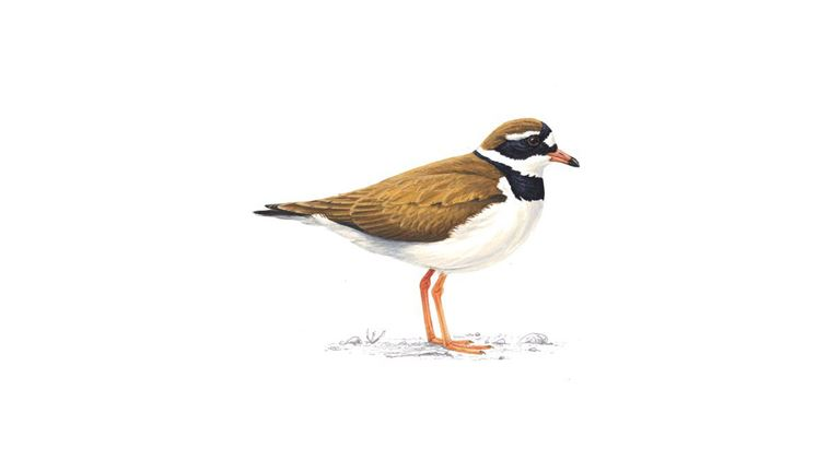 Ringed plover (summer plumage)