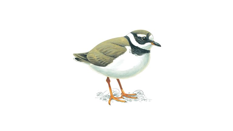 Ringed plover (winter plumage)