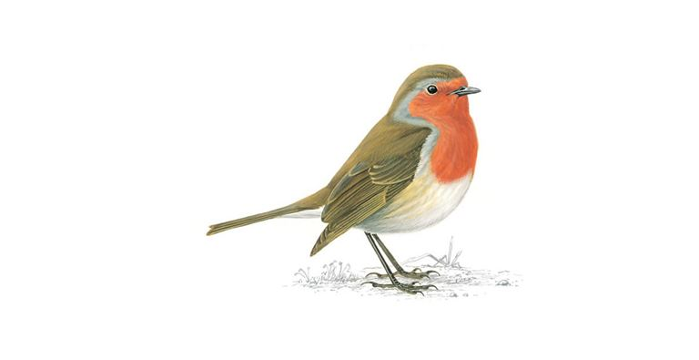 Robin Red Breast Bird Facts   Erithacus Rubecula - The RSPB