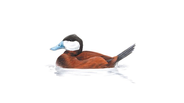 Ruddy duck (male)