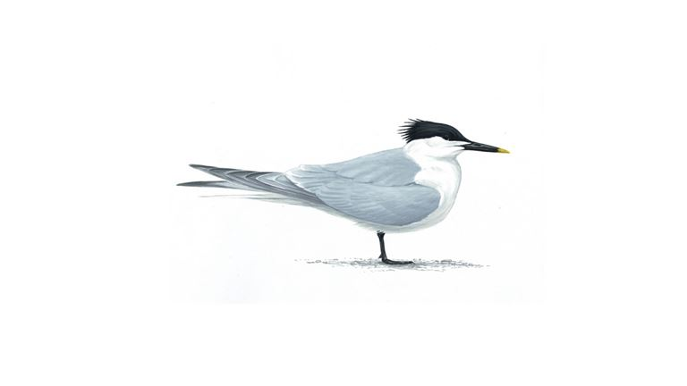 Sandwich tern (adult/summer plumage)