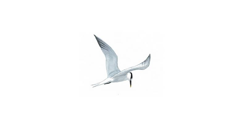 Sandwich tern (summer plumage / in flight)