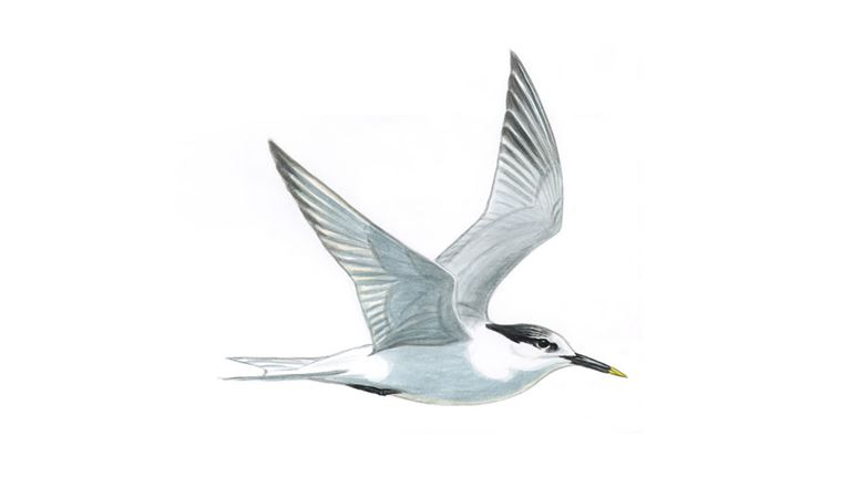 Sandwich tern (adult winter plumage)
