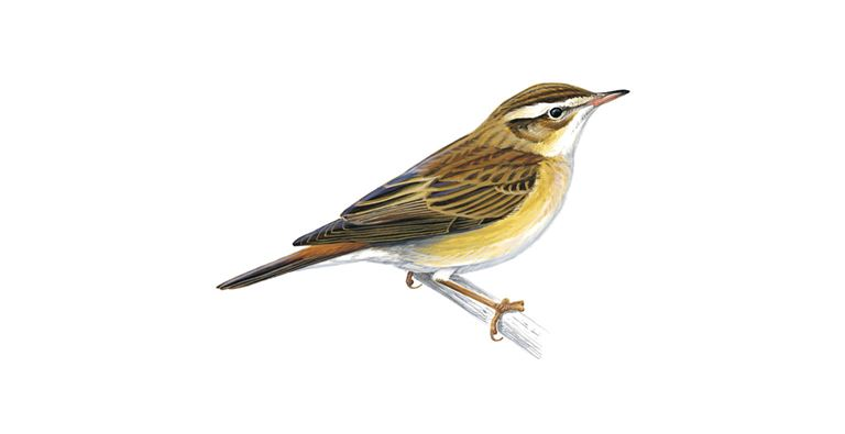 Sedge Warbler Bird Facts Acrocephalus Schoenobaenus The Rspb