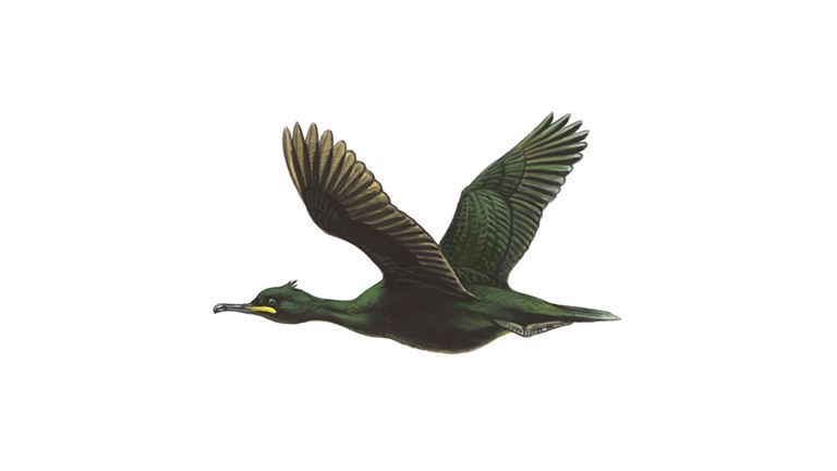 Shag (in flight)