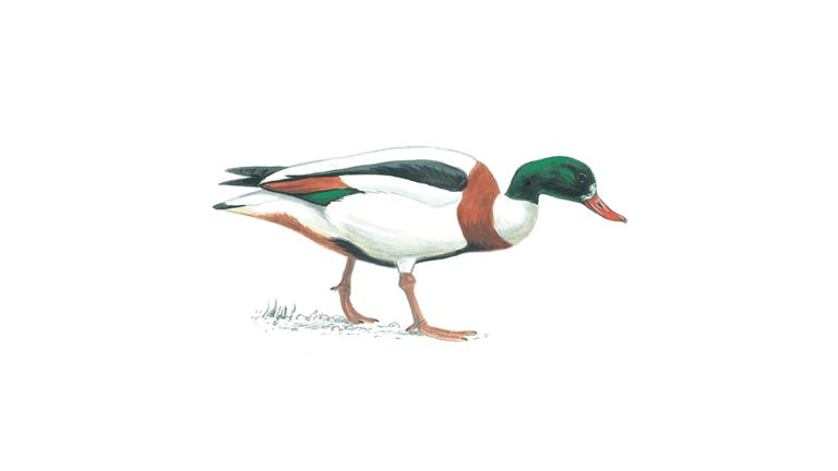 Shelduck (female)
