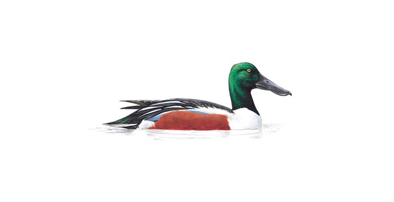 Shoveler Duck Facts Anas Clypeata The Rspb