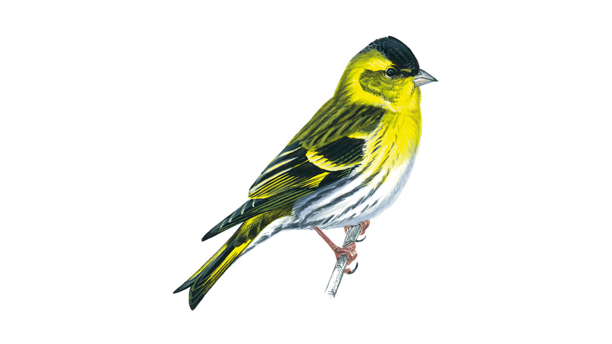 Siskin Bird Facts Carduelis Spinus The Rspb