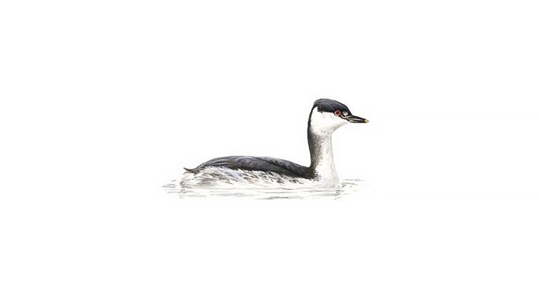 Slavonian grebe (winter plumage)