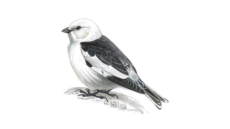 Snow bunting (male / summer plumage)