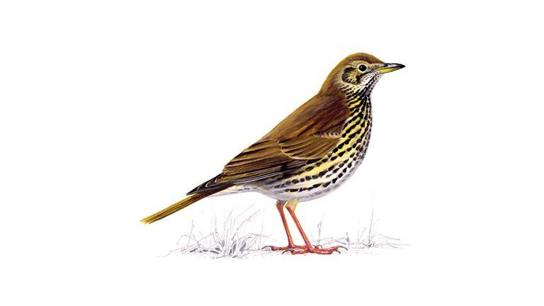Song Thrush Bird Facts   Turdus Philomelos - The RSPB