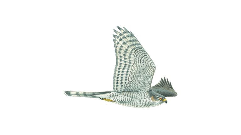 Sparrowhawk (female / in flight)