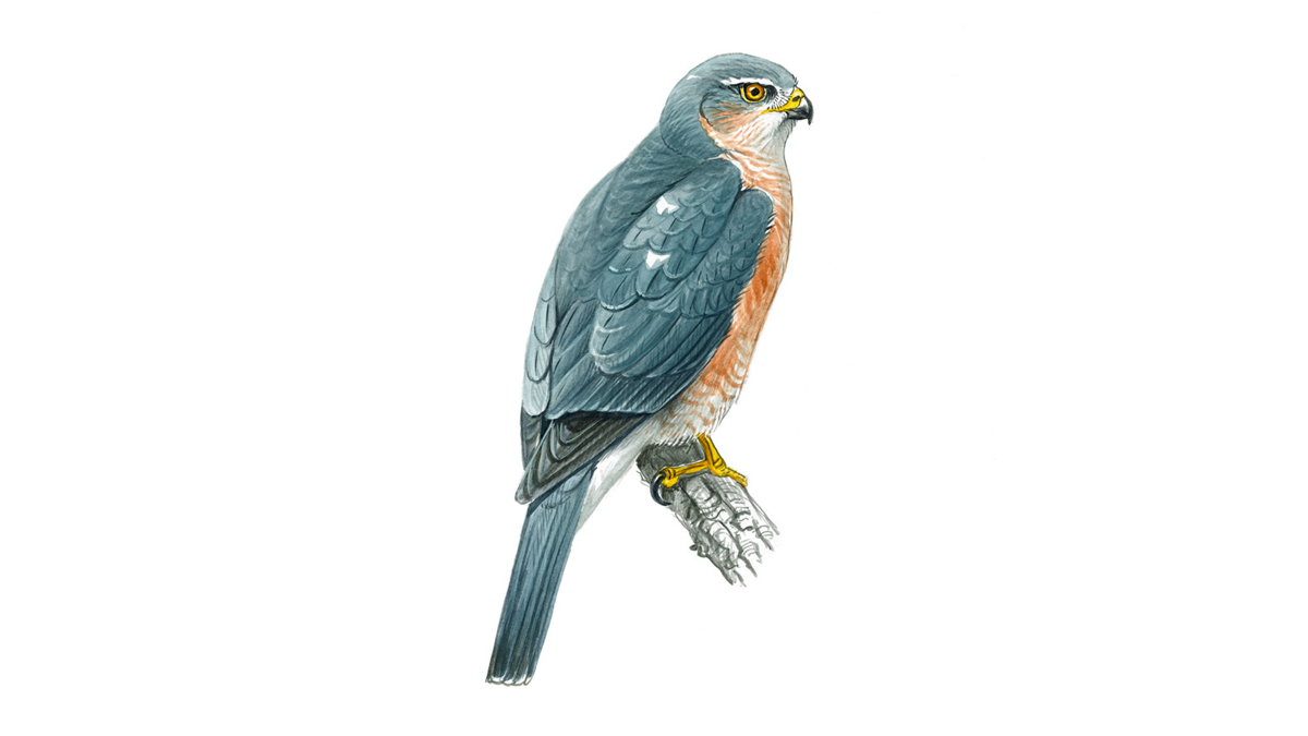 Sparrowhawk Bird Facts Accipiter Nisus The Rspb
